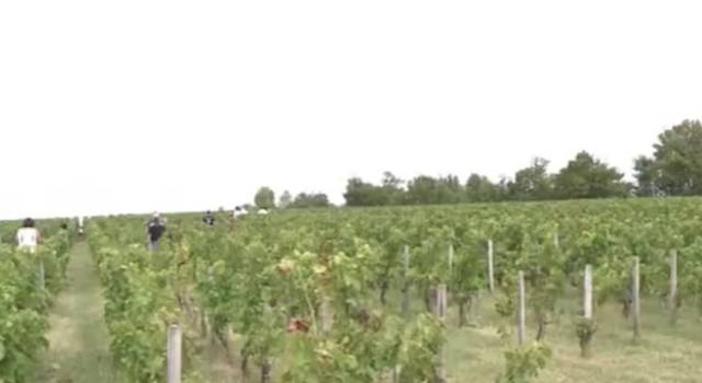 Nel 2015 l'Italia sorpassa la Francia, super vendemmia  – VIDEO