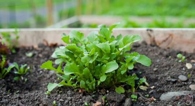 Utile in cucina e ricca di proprietà: ecco come coltivare la rucola