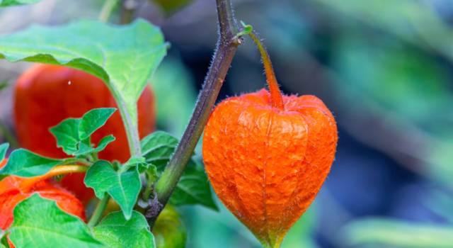 Alchechengi: proprietà, ricette e benefici della bacca commestibile