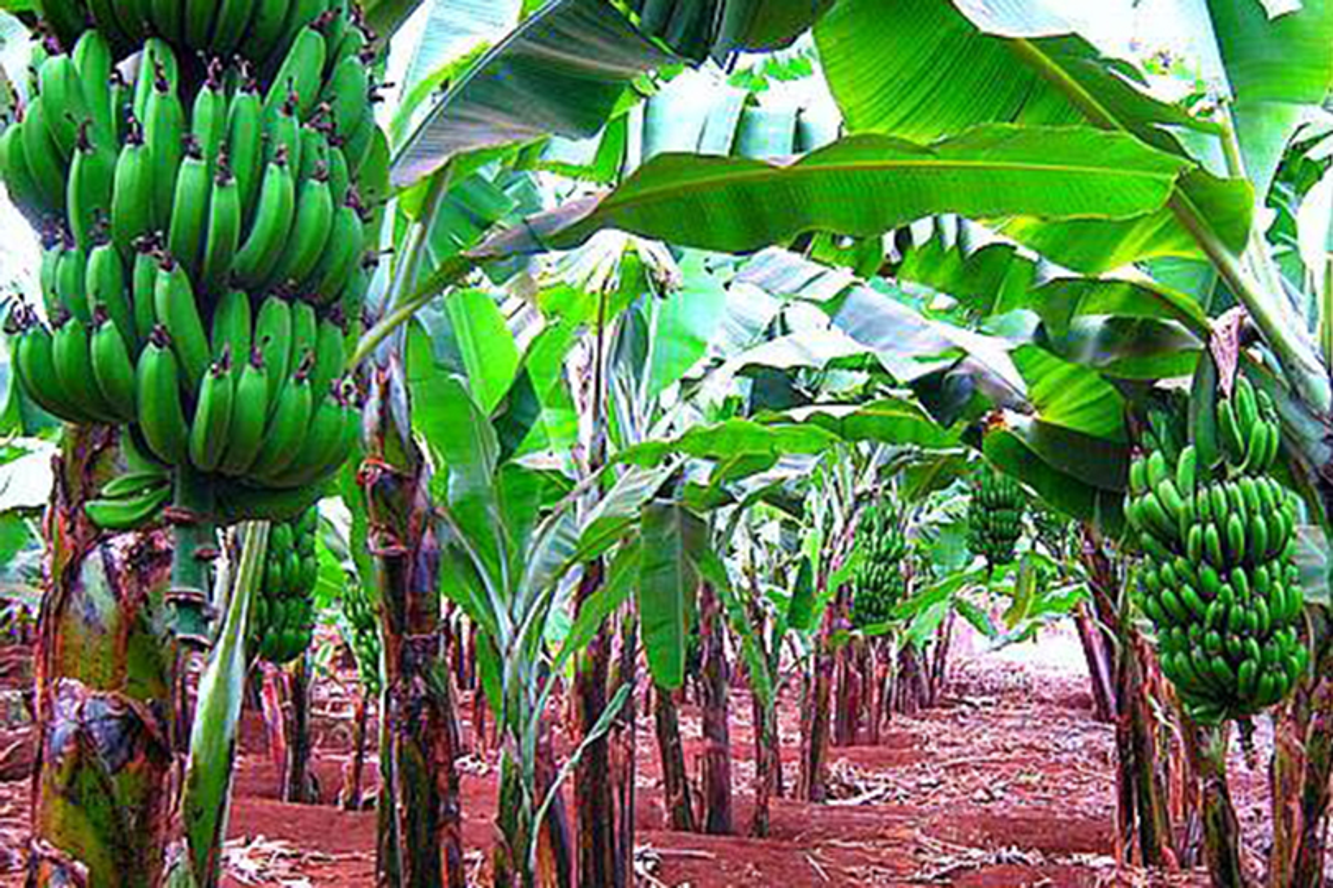 Banane Matooke