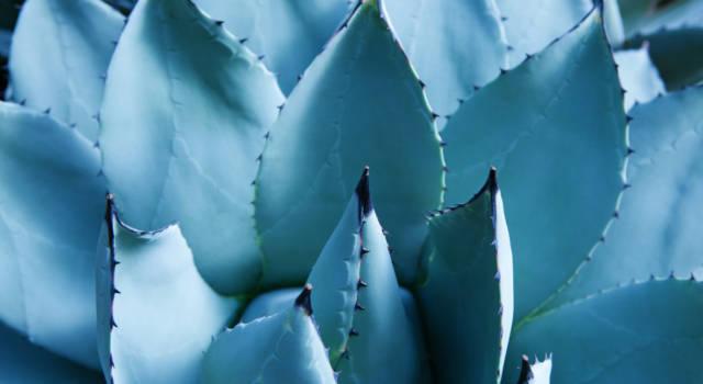 Tutto sull'agave: cos'è, usi e controindicazioni