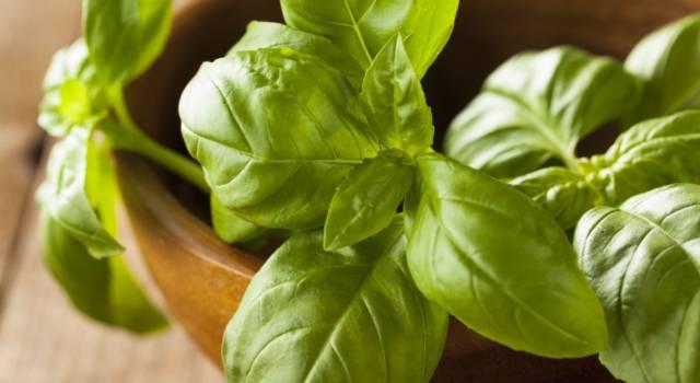Orto fai da te: come coltivare il basilico (in balcone) e conservarlo