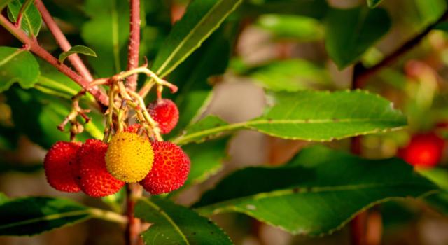 Le mille proprietà del corbezzolo, il frutto ricco di vitamina C