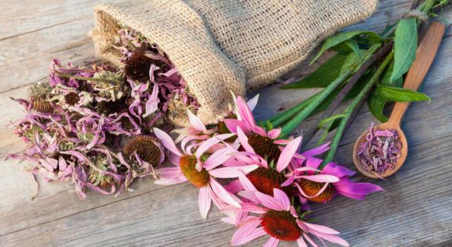 Tutte le proprietà dell'echinacea, un potente immunostimolante
