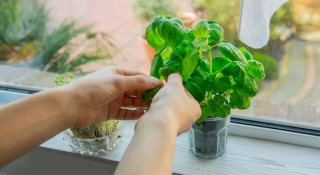 Guida completa per le cure a una pianta di basilico!